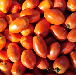 Paste type tomatoes at the Tree Farm